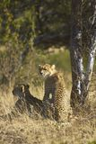 Cheetah and cub Stock Photos