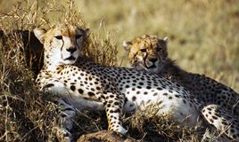Cheetah with cub. Resting after a meal. Serengeti, Tanzania Stock Image