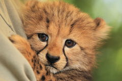Cheetah cub. The detail of cheetah cub stock image