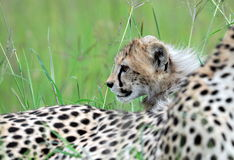 Cheetah with cub Royalty Free Stock Photo
