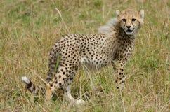 Cheetah cub. (Acinonyx jubatus) in the Masai Mara Game Reserve, Kenya, Africa Stock Image