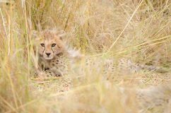 Cheetah Cub. Is hiding in the tall grass of the plains of Africa Stock Photos