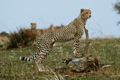 Cheetah cub. On lookout for prey Stock Photos