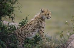 Cheetah cub. Photographed in the Serngeti, Tanzania Stock Images