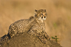 Cheetah cub. Lying on a dirt mound,side view Royalty Free Stock Photography