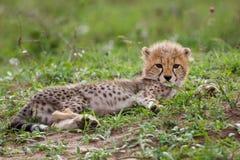 Cheetah cub. Young cheetah cub resting in the field looking at the camera Royalty Free Stock Image