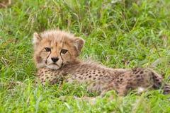 Cheetah cub. Lazy cheetah cub lying in the savanna Royalty Free Stock Photo