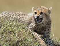 Cheetah cub. Royalty Free Stock Photos