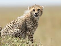 Cheetah cub Stock Photo
