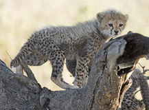 Cheetah cub. Africa, Tanzania Serengeti National Park,  cheetah cub Stock Photo