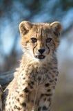 Cheetah. A cheetah cub on alert for potential prey Royalty Free Stock Photos