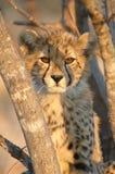 Cheetah. A cheetah cub on alert for potential prey Stock Photos