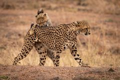 Cheetah cub bites mother on earth bank stock photo