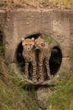 Cheetah cub biting another in concrete pipe royalty free stock photo