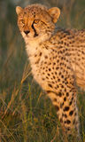 Cheetah cub with blood Stock Image