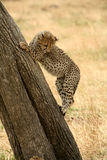 Cheetah cub climbing a tree Stock Photo