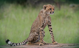 Cheetah Cub Royalty Free Stock Photos