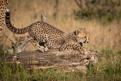 Cheetah cub crouching on log in grass royalty free stock images
