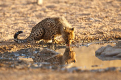 Cheetah cub drinking. With reflection in water Stock Photos