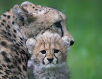 Cheetah cub in front of his mother 02 Royalty Free Stock Images