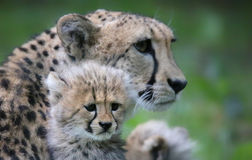 Cheetah cub in front of his mother 03. Close-up view of a Cheetah cub in front of his mother Royalty Free Stock Images
