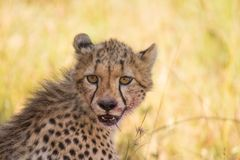 Cheetah. A Cheetah cub gives me the eye just after feeding with his mother. Photo taken in Tanzania Stock Photos