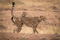 Cheetah cub grabs mother on earth bank stock photography