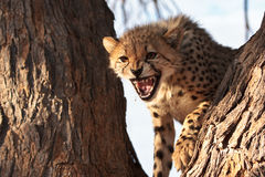 Cheetah cub growling. In tree in Kgalagadi Transfrontier Park, South Africa Royalty Free Stock Images