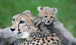 Cheetah cub and his mother Stock Photo