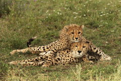 Cheetah cub lies on its mother's back isn Tanzania Royalty Free Stock Photo