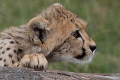 Cheetah Cub Looking Stock Photo