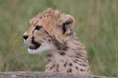 Cheetah Cub Looking Royalty Free Stock Images