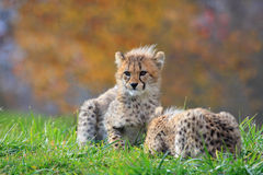 Cheetah cub. The cheetah cub is looking for its mother Stock Image