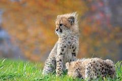 Cheetah cub Stock Images