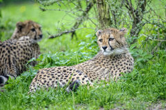 Cheetah cub lying in grass. Cheetah cub lying in greeen grass bellow bush Stock Photo