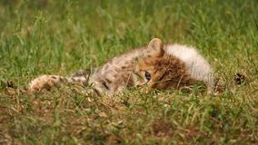 Cheetah cub lying in the grass. 5 months old cheetah cub Stock Photos