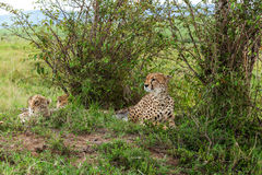 Cheetah with cub in Masai Mara Royalty Free Stock Images