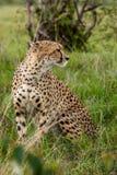 Cheetah with cub in Masai Mara Royalty Free Stock Image