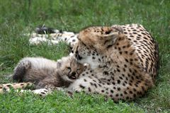 Cheetah Cub and Mom stock images