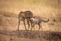 Cheetah cub and mother cross earth mound stock photography