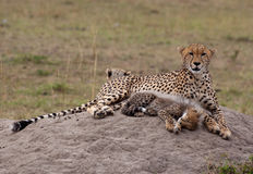 Cheetah Cub & Mother, Resting. Cheetah family resting in front of our jeep. Masai Mara National Park, Kenya Royalty Free Stock Photos