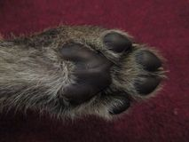 Cheetah cub paw. Close up of Cheetah cub paw stock photo