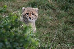 Cheetah Cub Peeping Out Stock Photos