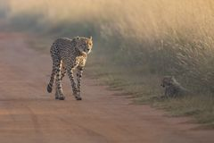 Cheetah cub playing with her mother in a road Stock Images