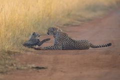Cheetah cub playing with her mother in a road Royalty Free Stock Photos
