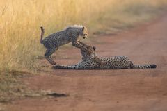 Cheetah cub playing with her mother in a road Royalty Free Stock Images