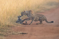 Cheetah cub playing with her mother in a road Stock Photo