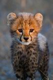 Cheetah cub portrait. A portrait of a very young cheetah cub in golden light Royalty Free Stock Photo