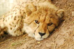 Cheetah cub portrait stock photography