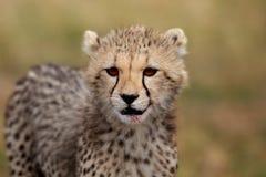 Cheetah cub portrait, Masai Mara Royalty Free Stock Photo